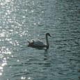 水面の白鳥。